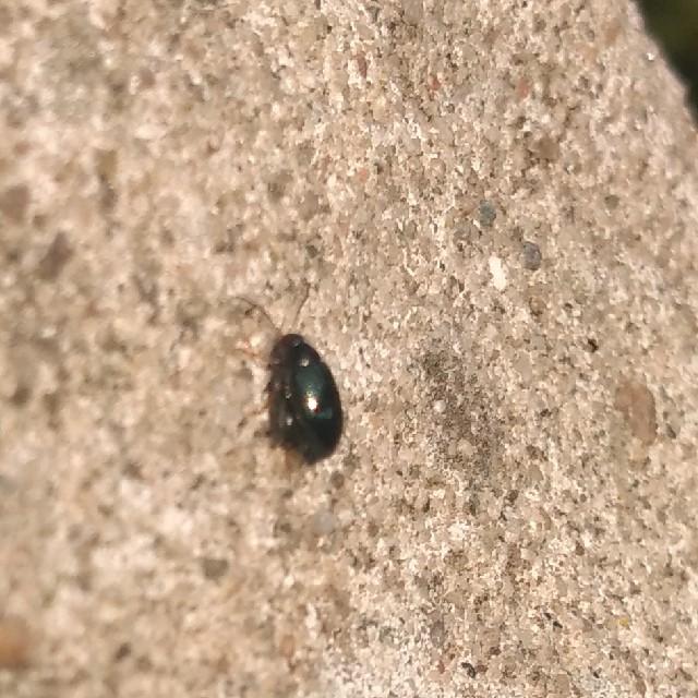 Psylliodes sp. (Psylliodes sp.)
