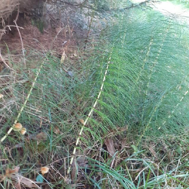 Elfenbens-Padderok (Equisetum telmateia)