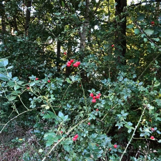 Glat Hunde-Rose (Rosa canina ssp. canina)