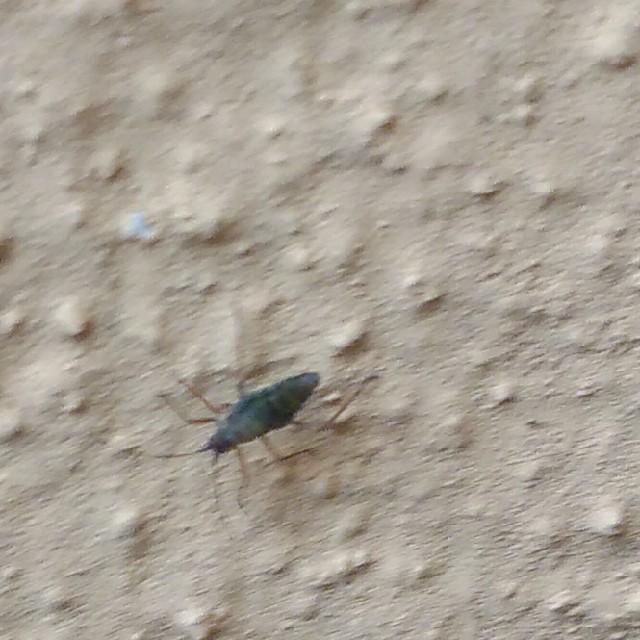 Euceraphis betulae/punctipennis (Euceraphis betulae/punctipennis)