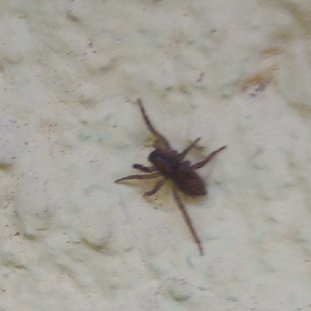 Pardosa sp. (Pardosa sp.)
