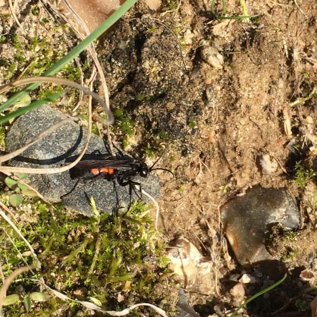 Almindelig Vejhveps (Anoplius viaticus)