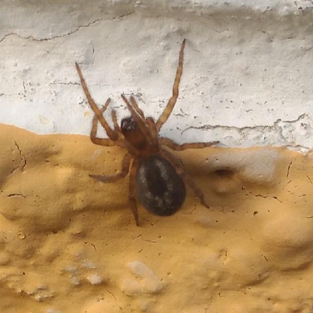 Amaurobius sp. (Amaurobius sp.)