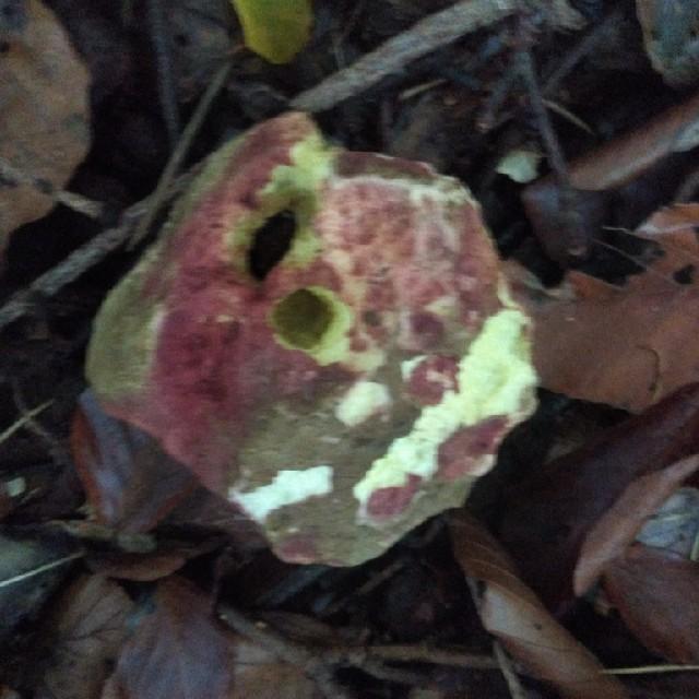 Rødsprukken Rørhat (Xerocomellus chrysenteron)