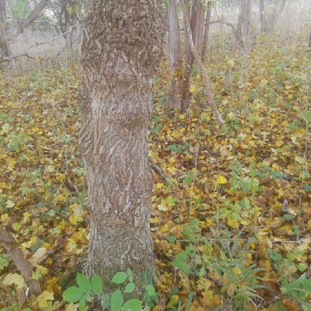 Navr (Acer campestre)