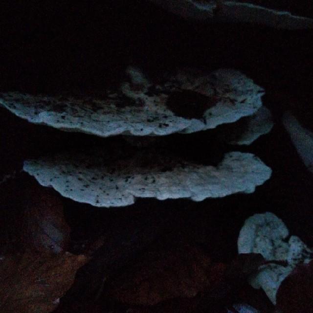 Puklet Læderporesvamp (Trametes gibbosa)