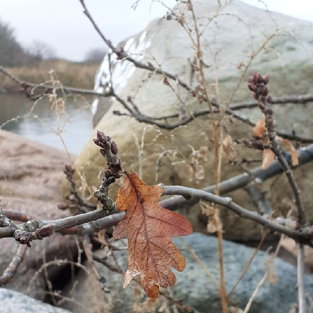 Stilk-Eg (Quercus robur)
