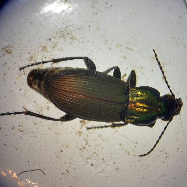 Smuk Metaljordløber (Poecilus lepidus)