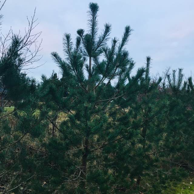 Østrigsk Fyr (Pinus nigra var. nigra)