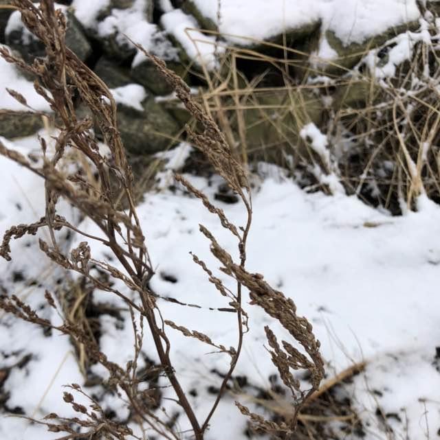 Hvid Stenkløver