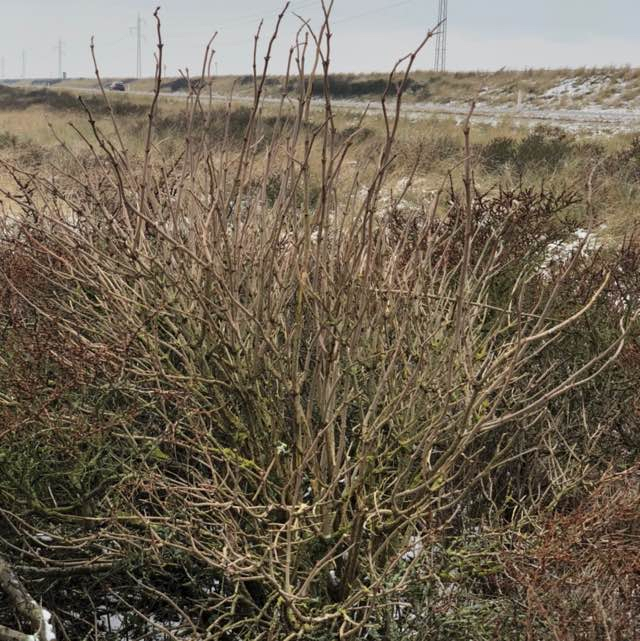 Almindelig Hyld (Sambucus nigra)