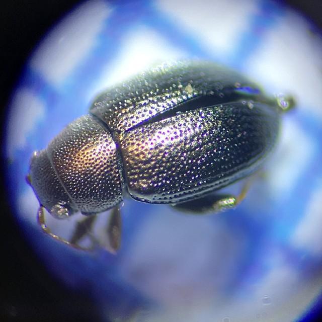 Chaetocnema hortensis (Chaetocnema hortensis)