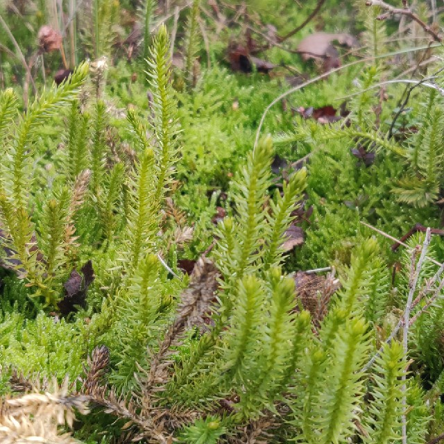 Almindelig Ulvefod (Lycopodium clavatum)