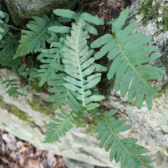 Almindelig Engelsød (Polypodium vulgare)