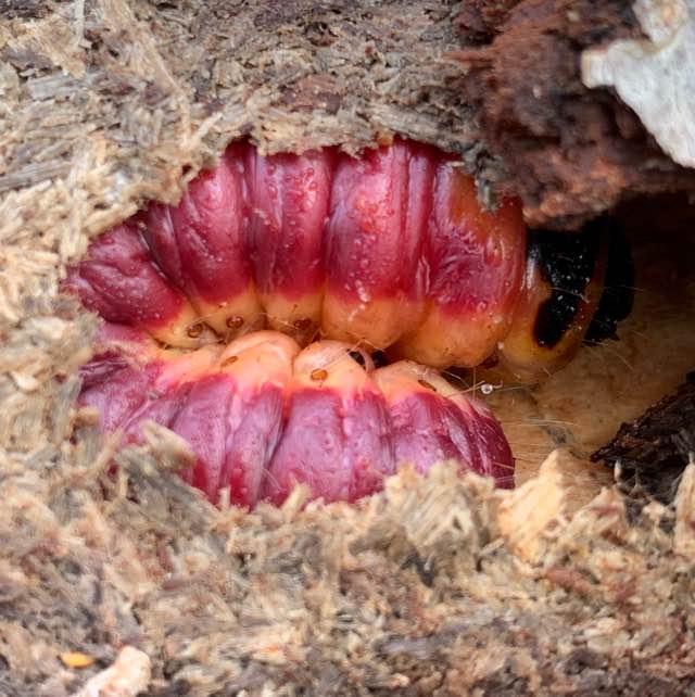 Pileborer (Cossus cossus)