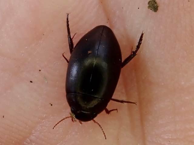 Ilybius sp. (Ilybius sp.)