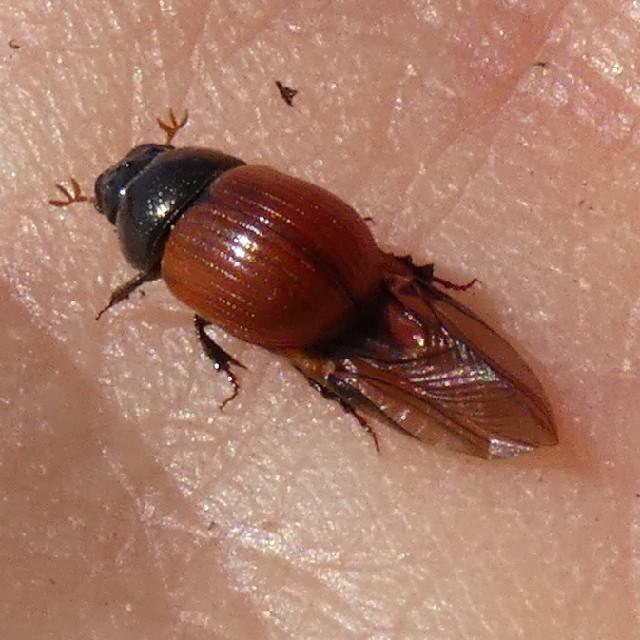 Lakrød Møgbille sp. (Aphodius fimetarius/pedellus)