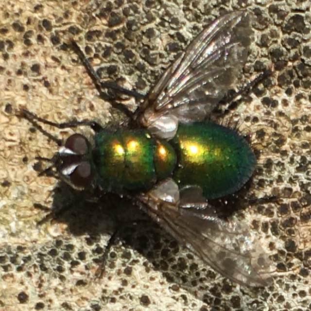 Grøn Snylteflue