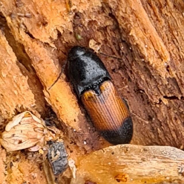 Tvefarvet Skovsmælder (Ampedus balteatus)