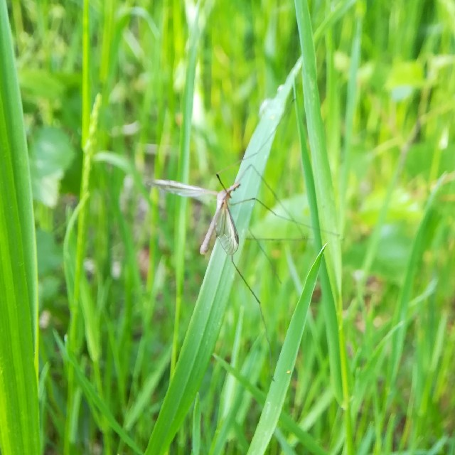 Tipula sp.