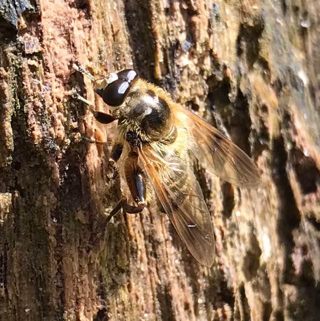 Brun Træsmuldsvirreflue