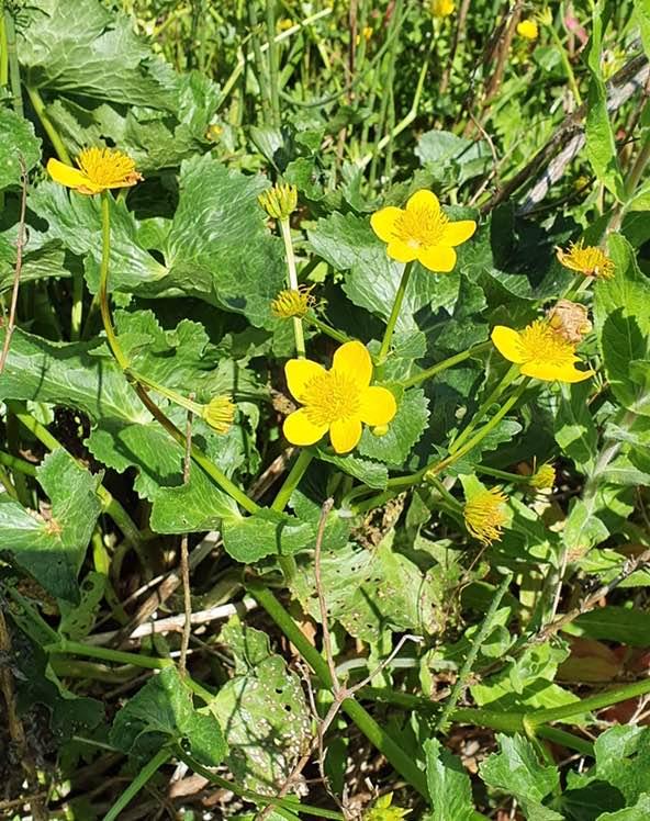 Eng-Kabbeleje (Caltha palustris ssp. palustris)