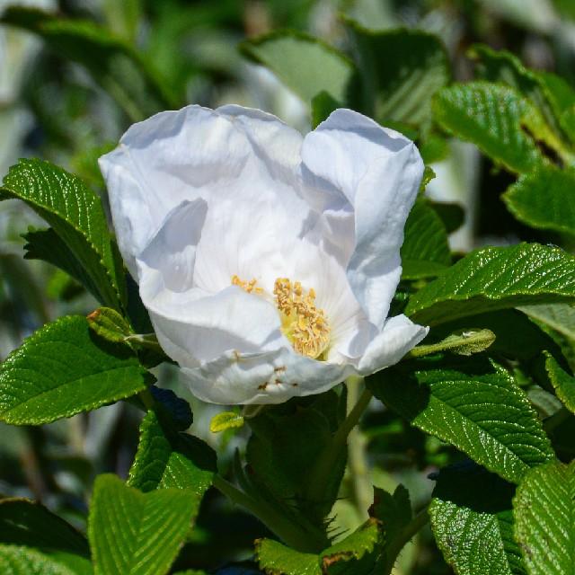 Rynket Rose