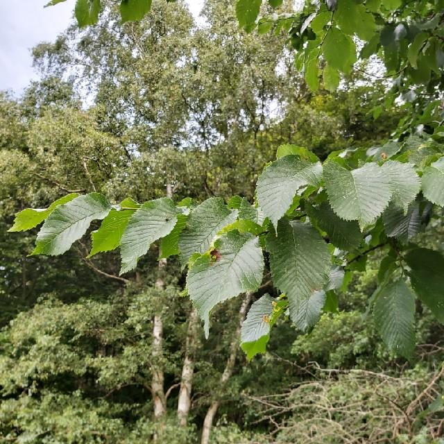 Ulmus glabra ssp. montana