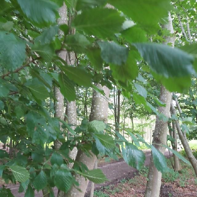 Småbladet Elm