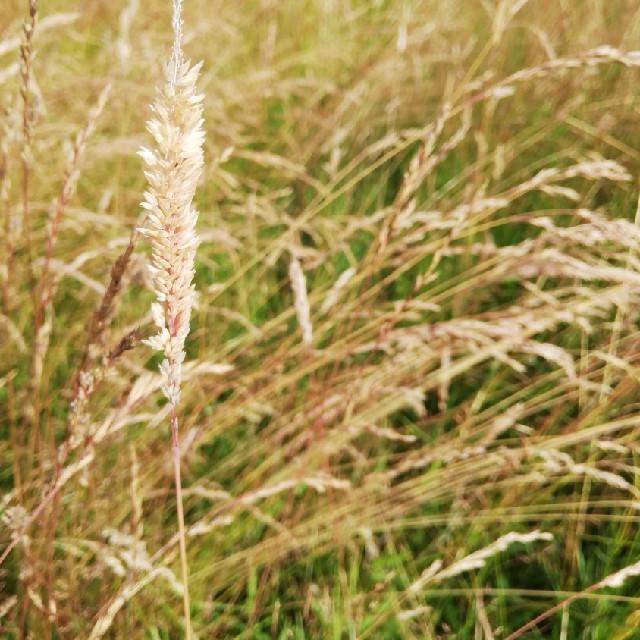 Fløjlsgræs