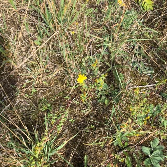 Prikbladet Perikon (Hypericum perforatum)
