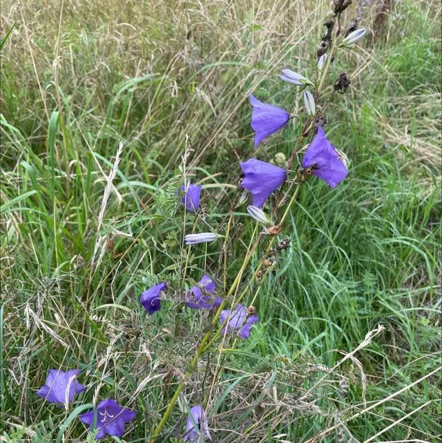 Smalbladet Klokke (Campanula persicifolia)