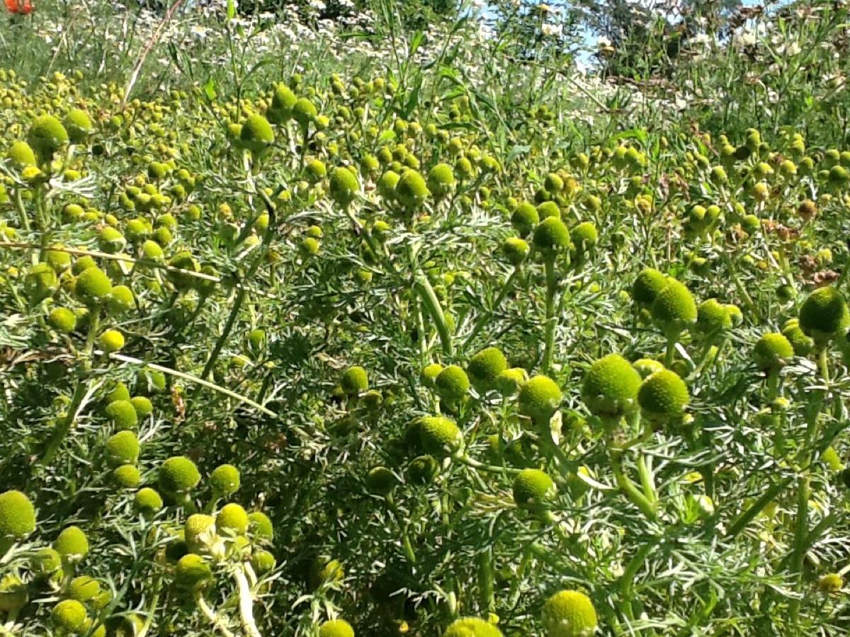 Skive-Kamille (Matricaria matricarioides)