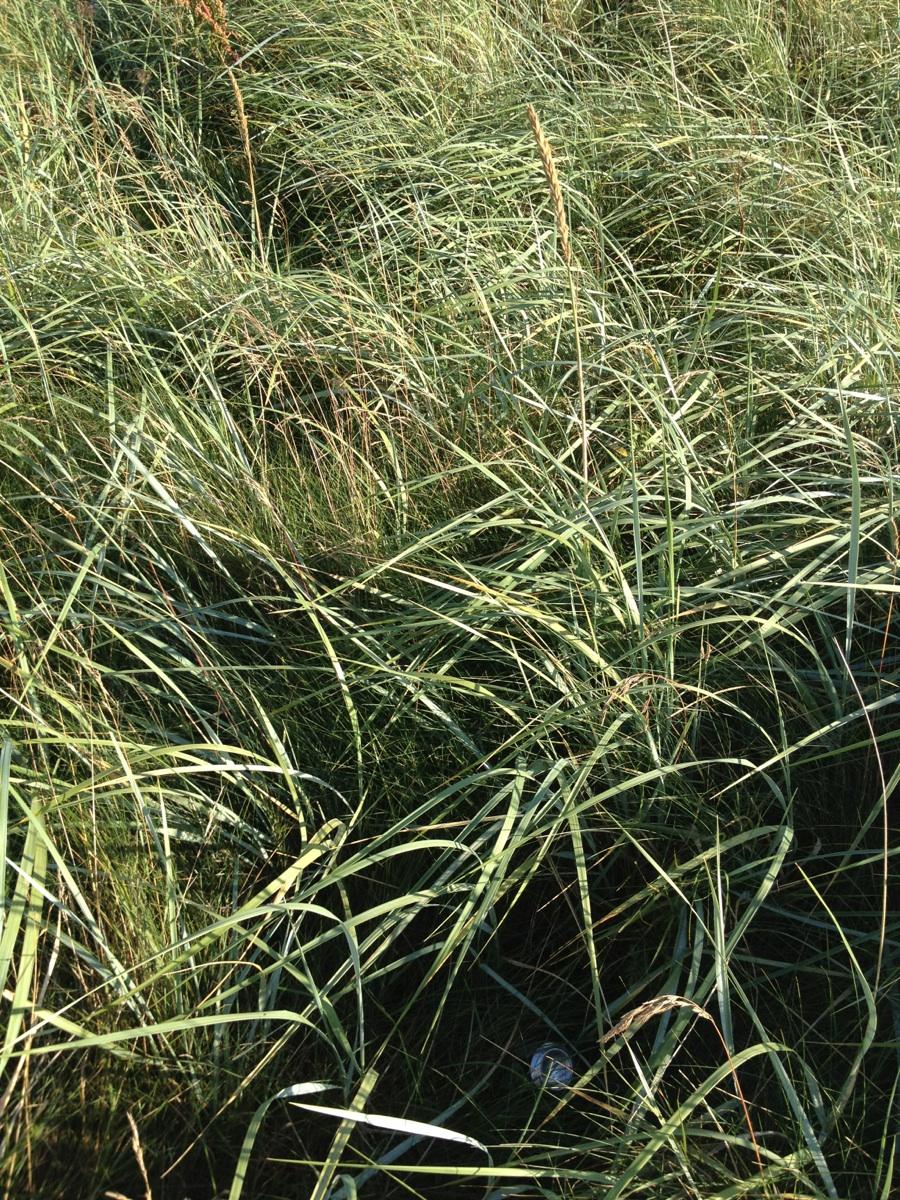 Foto/billede af Sand-Hjælme (Ammophila arenaria)