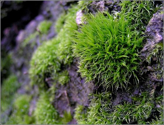 Foto/billede af Almindelig Kløvtand (Dicranum scoparium)