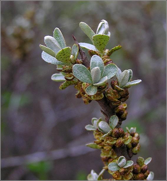 Havtorn hanplante