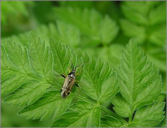Foto/billede af Harpocera thoracica (Harpocera thoracica)