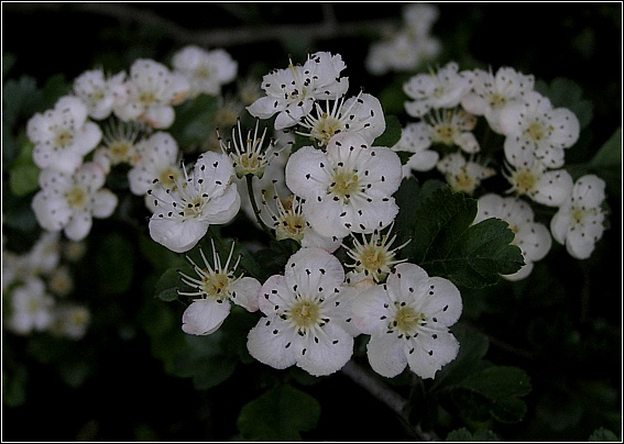Almindelig Hvidtjørn (Crataegus laevigata)