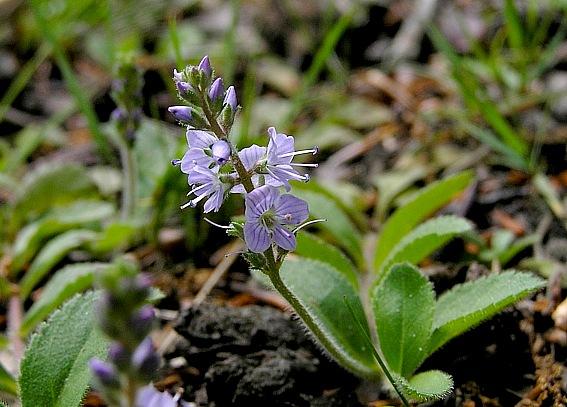 Læge-Ærenpris (Veronica officinalis)