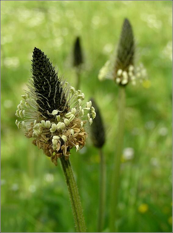 Foto/billede af Lancet-Vejbred (Plantago lanceolata)