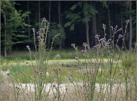 Kær-Tidsel (Cirsium palustre)
