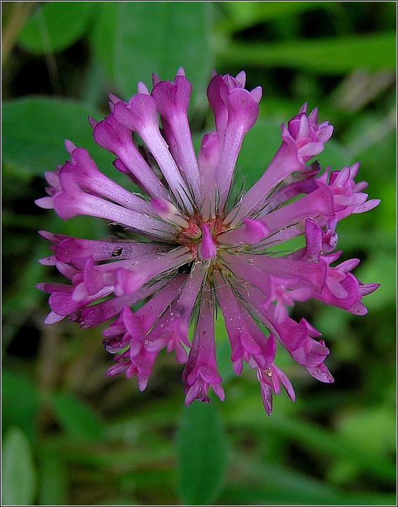 Bugtet Kløver (Trifolium medium)