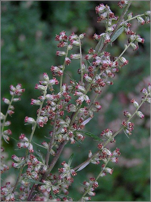 Foto/billede af Grå-Bynke (Artemisia vulgaris)