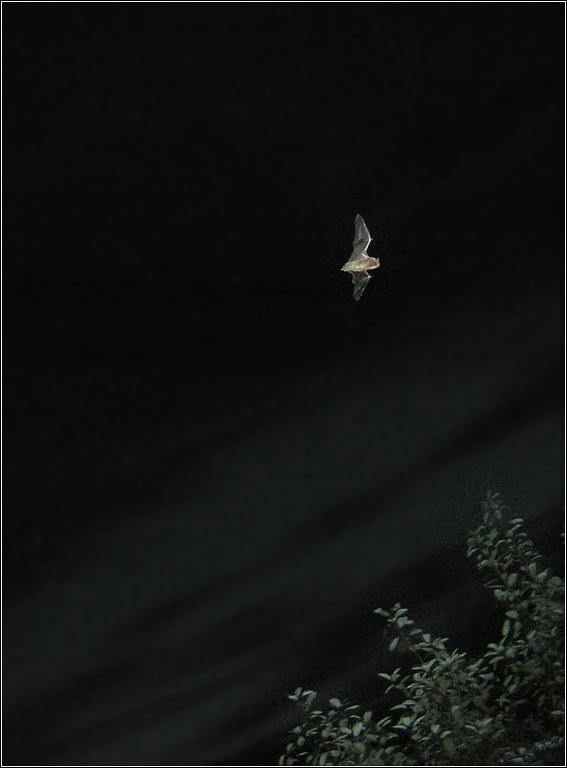 Foto/billede af Flagermus ubest. (Vespertilionidae indet.)