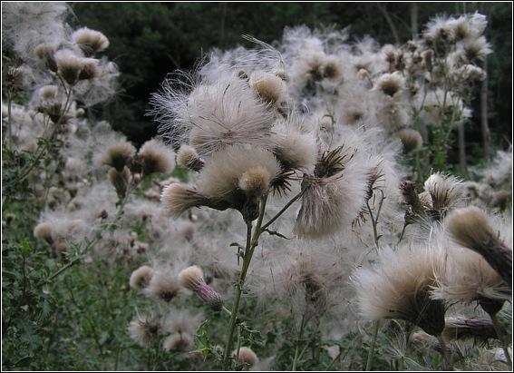 Ager-Tidsel (Cirsium arvense)