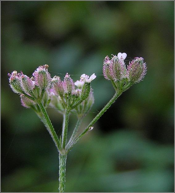 Hvas Randfrø (Torilis japonica)