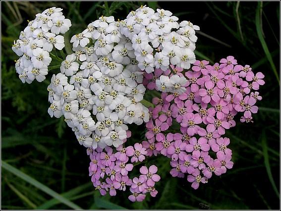 Foto/billede af Almindelig Røllike (Achillea millefolium)