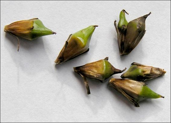 Foto/billede af Sodfrugtet Pindsvineknop (Sparganium erectum ssp. erectum)