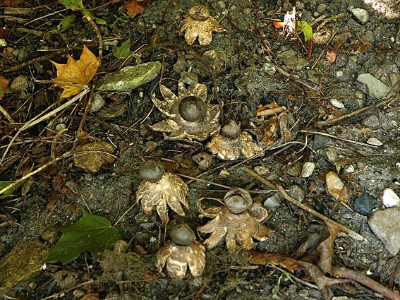 Foto/billede af Mørk Stjernebold (Geastrum coronatum)