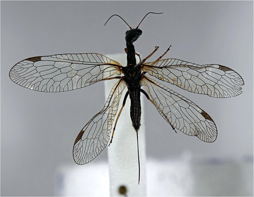 Stor Kamelhalsflue (Phaeostigma notata)